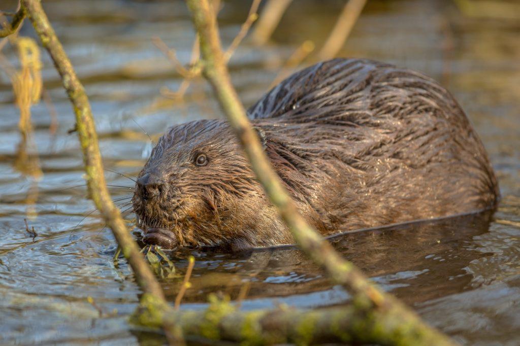 Eurasian beaver in water peeking through branches